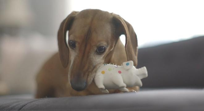 Dachshund Is Overwhelmed With Doggy Emotion Upon Reuniting With His Favorite Toy
