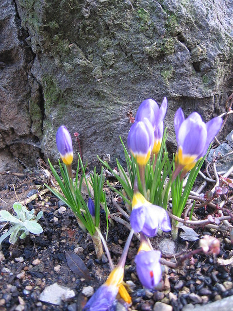 early crocuses, spring '07