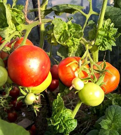 Gamtos Kampelis Koloninis Pomidoras помидоры палка Vid Dydžio