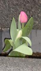 Tuilip in the rain