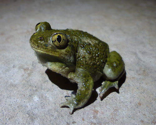 a darker green spadefoot