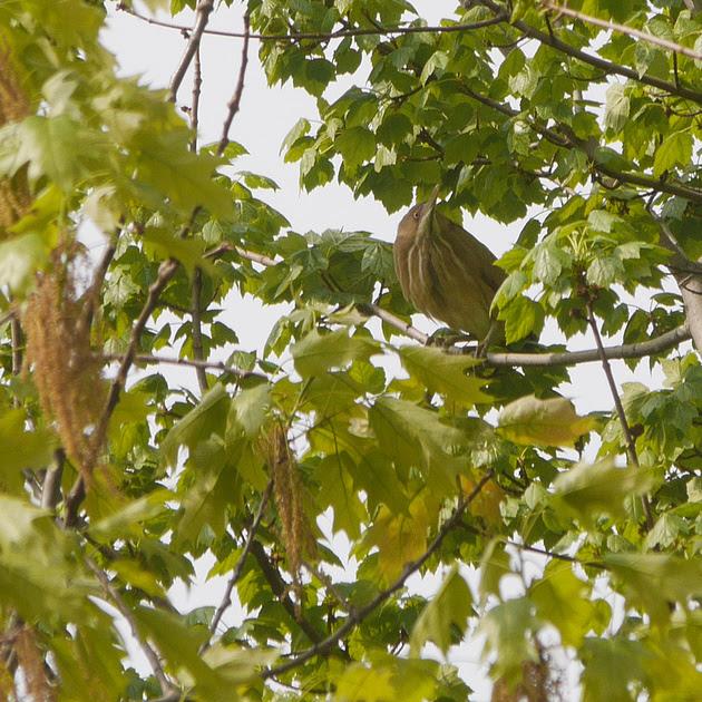 Ed Gaillard: birds &emdash; Least Bittern, Central Park