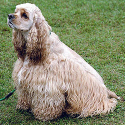 American Cocker Spaniel Top Breed of Dogs