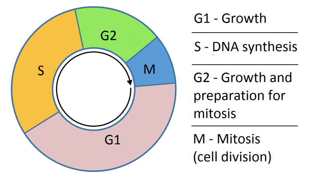 The Cell Cycle - Phases - Mitosis - Regulation ...