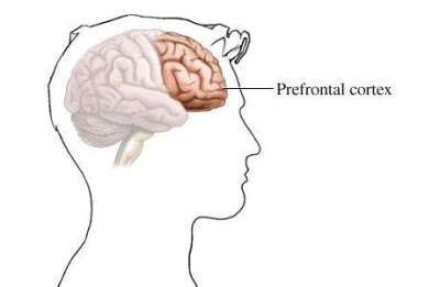 Prefrontal cortex brain