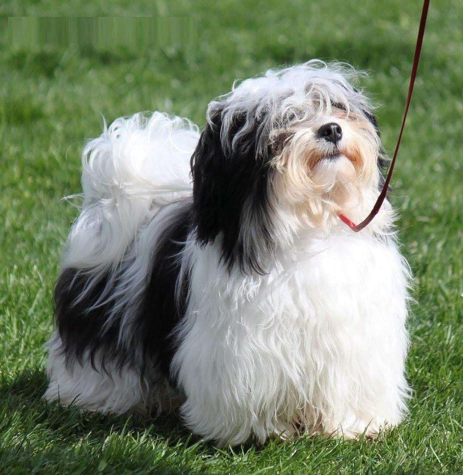 Havanese  Puppies, Rescue, Pictures, Information, Temperament, Characteristics  Animals Breeds