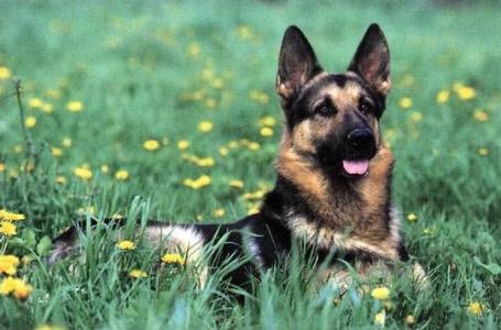 333120 As 10 raças de cães mais inteligentes 3 As 10 raças de cães mais inteligentes