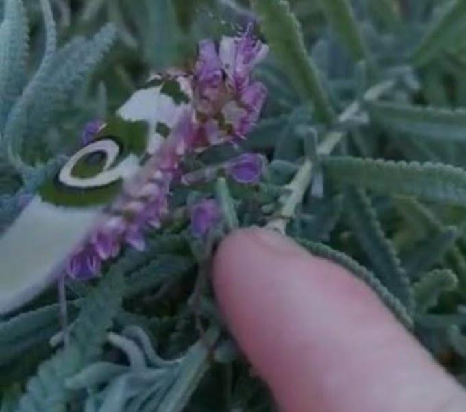 Una mujer encuentra un increíble insecto que parece una verdadera obra de arte de la naturaleza
