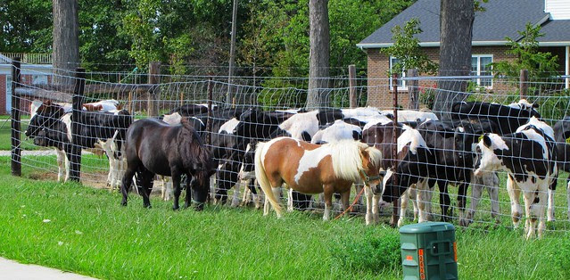 IMG_5487_Cows_Watching_Ponies_
