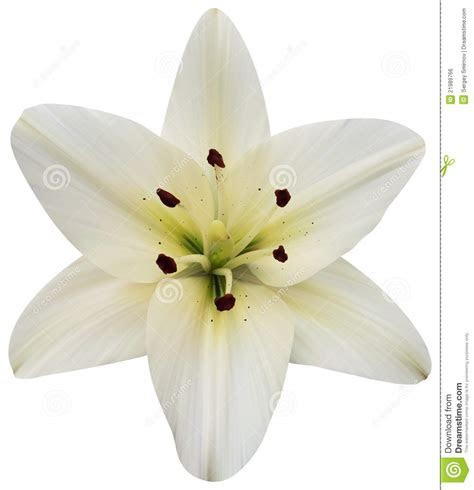 Madonna Lily On White stock vector. Image of invitation