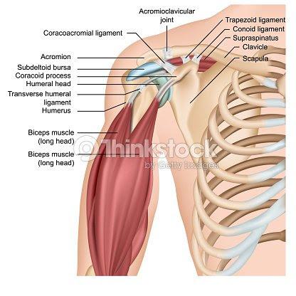 腕の筋肉が付いている肩の解剖学3d 医学のベクトルのイラスト ベクトル
