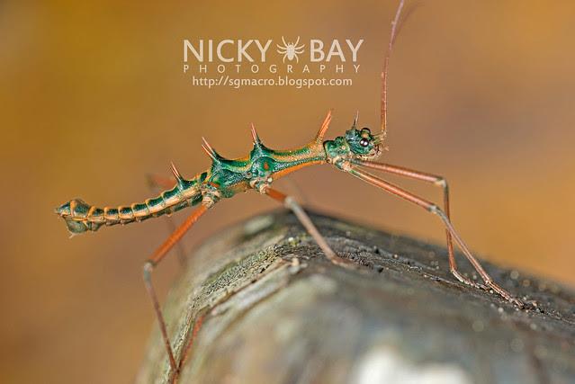 Stick Insect (Phasmatodea) - DSC_9019