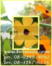 ดอกแบล็คอายซูซาน ความหมาย'ให้กำลังใจ'