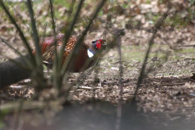 DSC_6546 pheasant in woodland