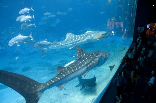 ジンベエザメ, 黒潮の海, 沖縄美ら海水族館