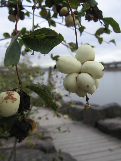 sw_white_berries