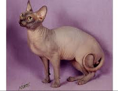 Sphynx cat | Tacky Harper's Cryptic Clues