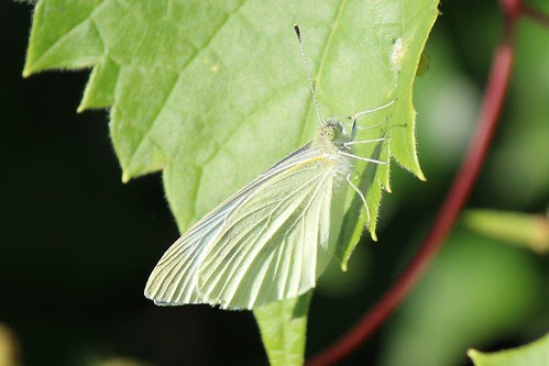 IMG_0506_Pale_Green_Butterfly