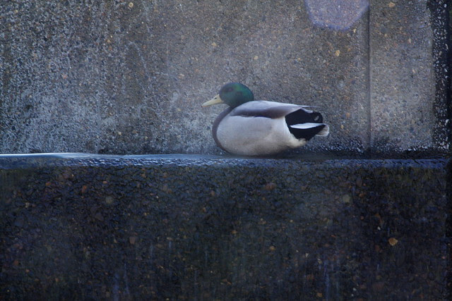 fountain + duck