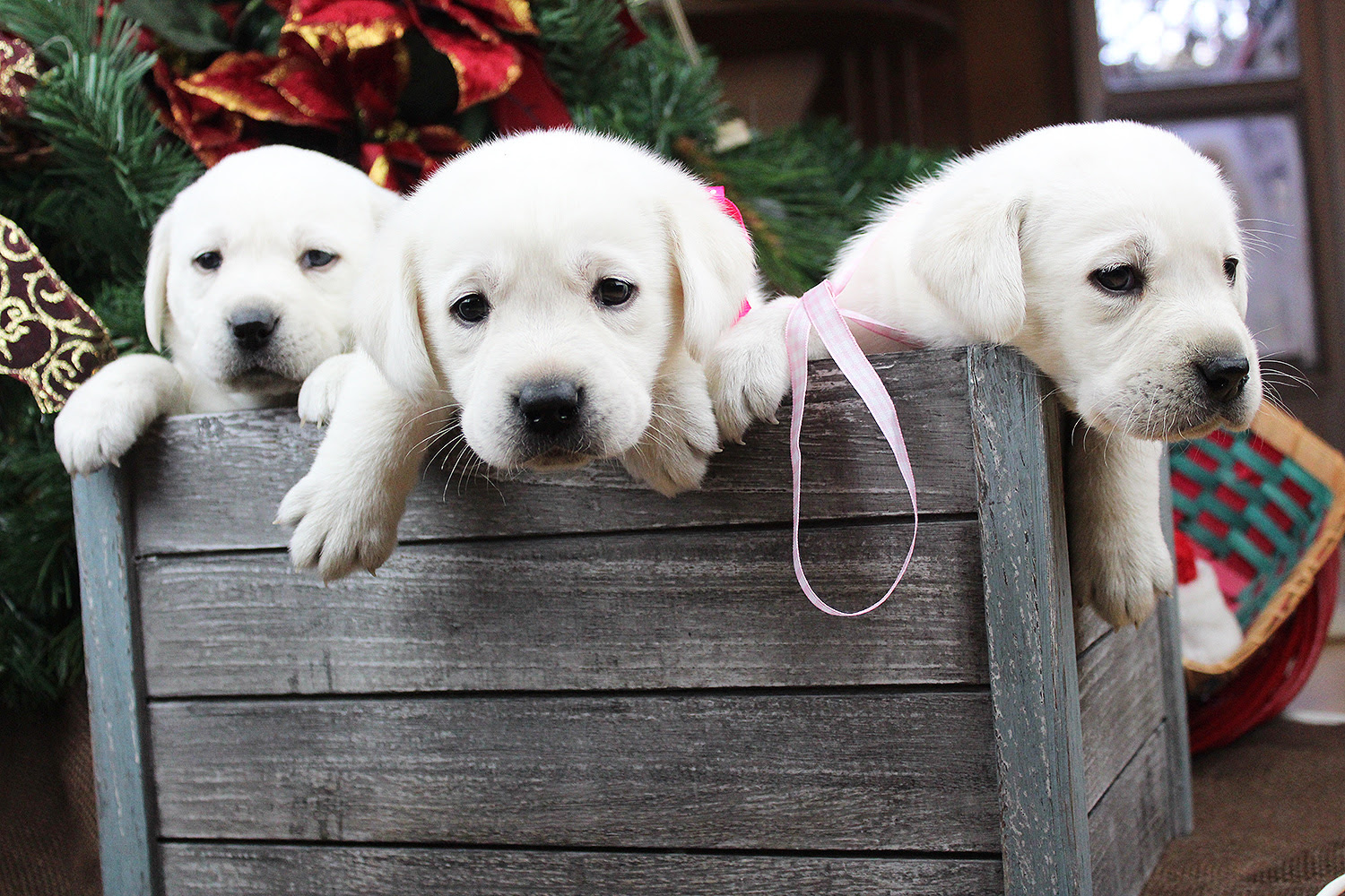 1 female and 3 males available AKC Yellow Lab Puppies in Florida USA