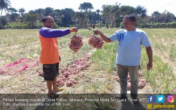 NTT Siap Ekspor Bawang Organik ke Timor Leste - JPNN.COM