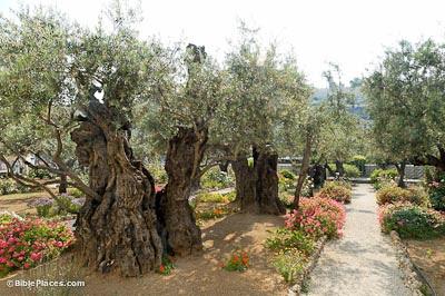 Image result for olive tree in gethsemane