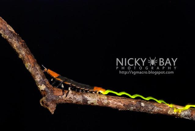 Firefly larva (Lampyridae) - DSC_5559