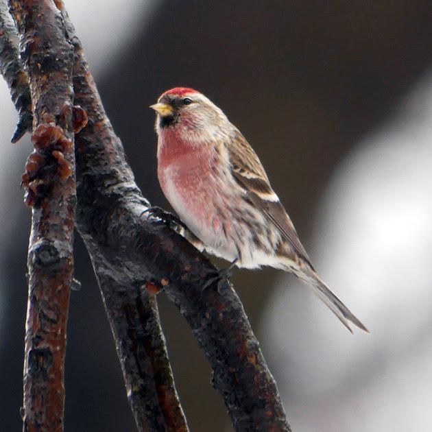 Ed Gaillard: birds &emdash; Common Redpoll, Central Park