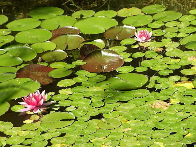 Water Lilies How To Grow And Care For Water Lily Plants Garden