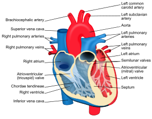English: Heart diagram with labels in English....