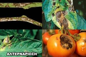 Ασθένειες Ντομάτας Αλτερναρίωση