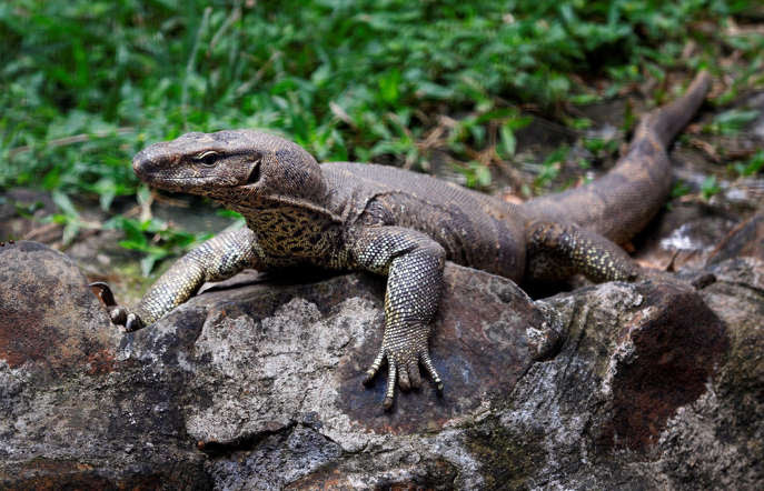 Monitor lizards are one of the most versatile creatures. They can survive in deserts, forests and wetlands. Considered to be extremely intelligent, it has been found that they have the ability to count.