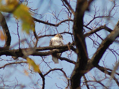 Red-Tailed Hawk at Central Park's Compost Hill