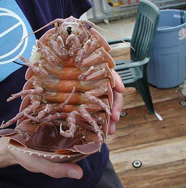 Foto tirada em 2002 mostra isópodo Bathynomus giganteus de perto, apelidado de 'barata marinha gigante' (Foto: Divulgação/NOAA)