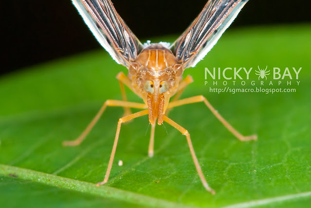 Derbid Planthopper (Derbidae) - DSC_2109