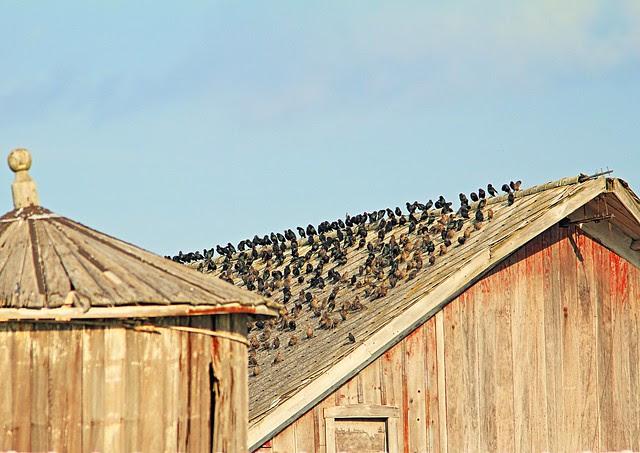 Cowbirds on old barn 20130911
