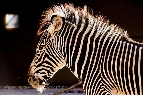 Sacramento Zoo zebras
