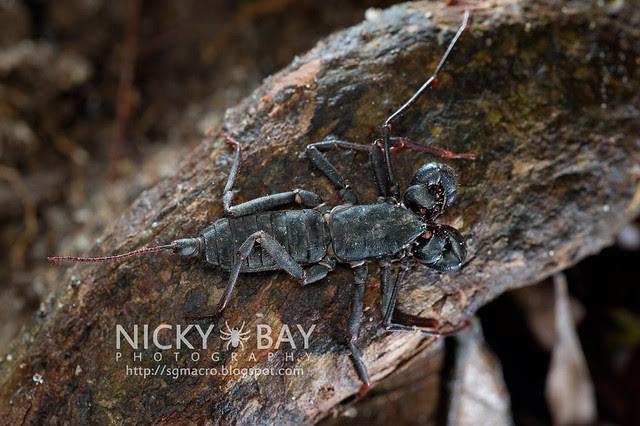 Whip Scorpion (Thelyphonida) - DSC_4177