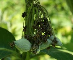 Common Milkweed immature seed pods