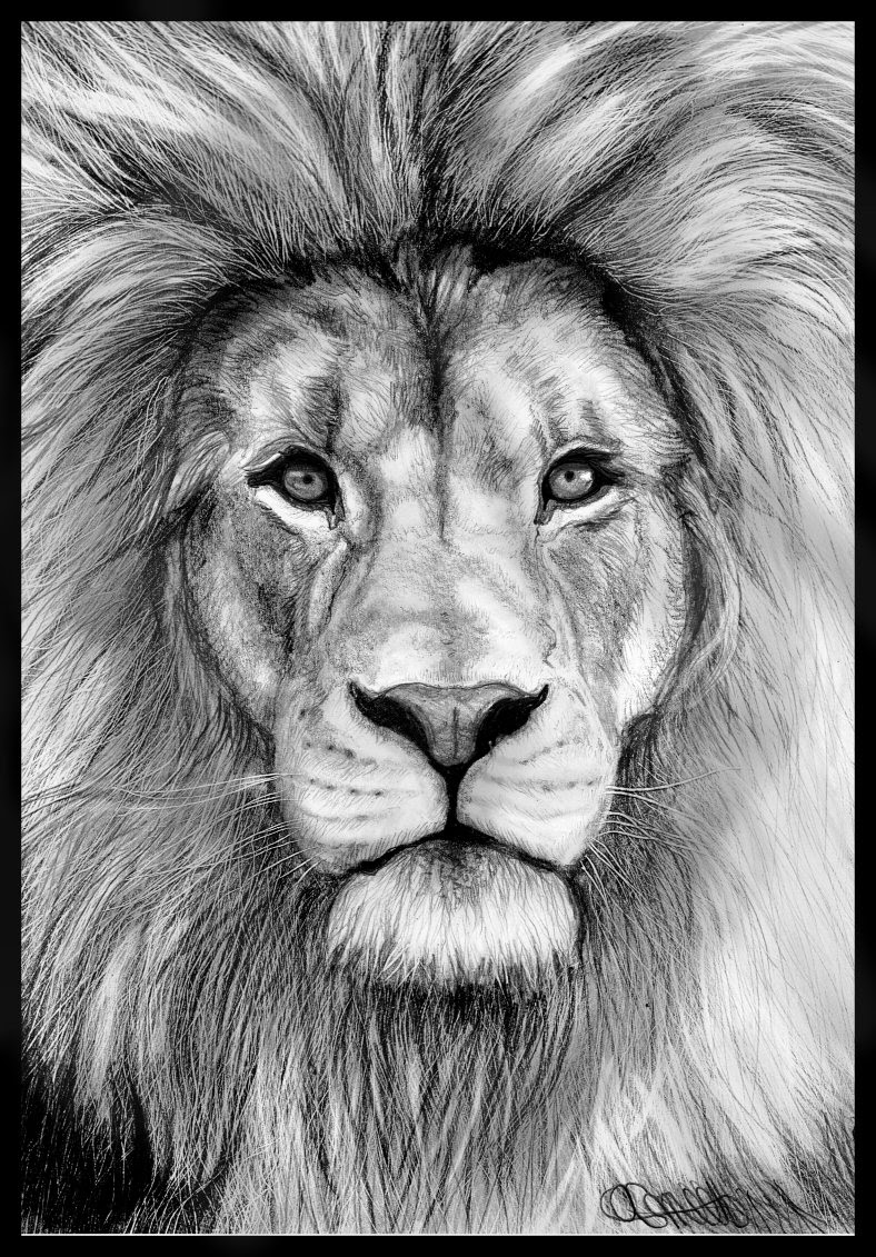 Lion Pencil Drawings