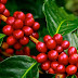 Kona Coffee Store - Pure Kona Gourmet Coffee Can Be Fun for Everyone