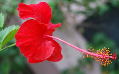 Terbaru 33 Bunga Kembang Sepatu Gambar Bunga