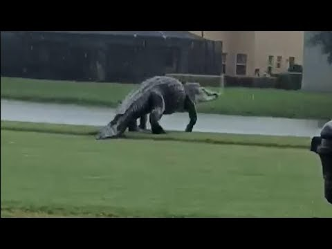 A huge alligator took a walk on a golf course in Florida (VIDEO)