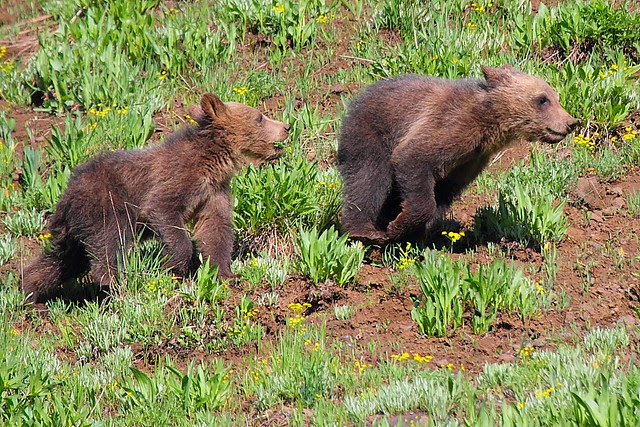 IMG_2296 Grizzly Cubs, Yellowstone National Park