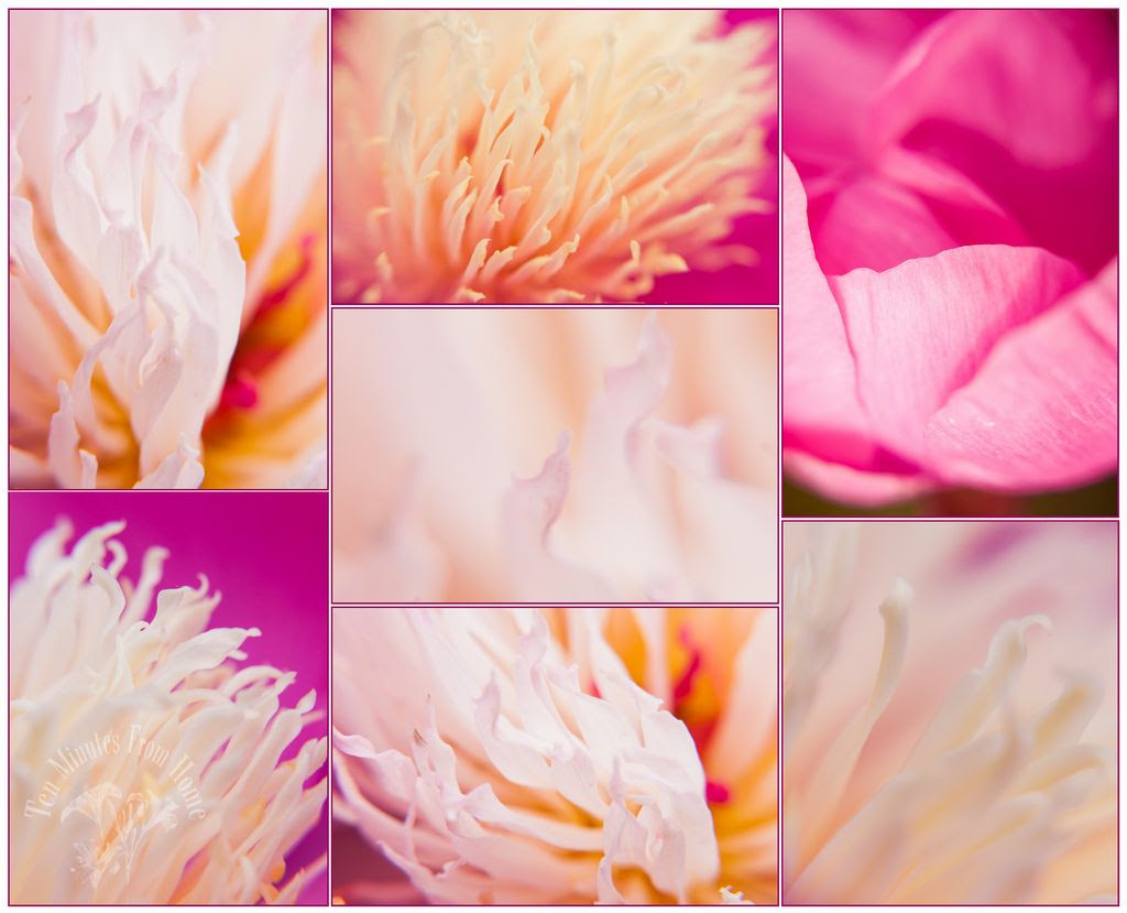 Whenever!, A Paeony study ~ I LOVE these flowers, but they always seem to get battered by wind and rain :(