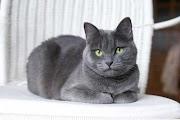 Kucing Russian Blue oleh - seputarhewan.xyz