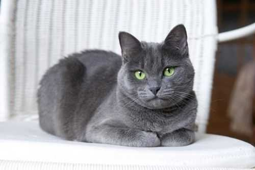 Kucing Russian Blue oleh - hewanpeliharaan.xyz