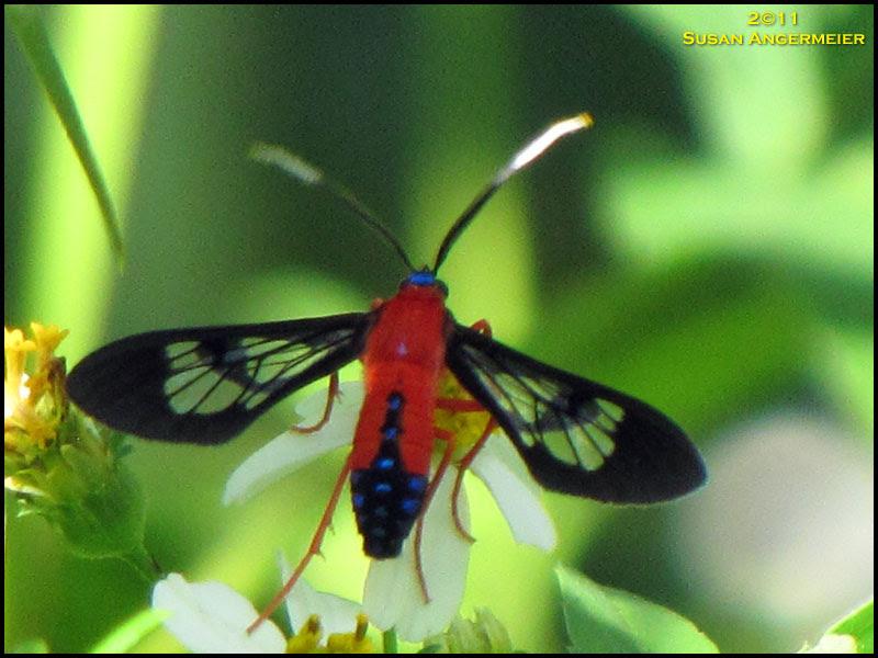 Scarlet-bodied Hawk Moth