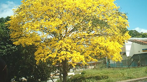 Panamá: Siembran árboles de Guayacán con apoyo de Perú