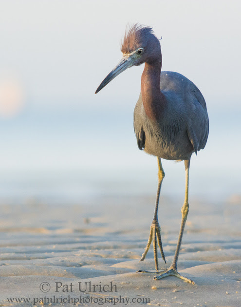 Little blue heron at sunrise on Bunche Beach, Fort Myers, Florida